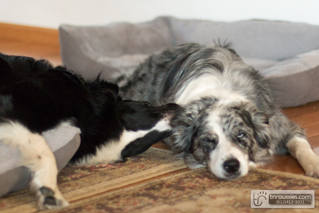 140607 TR7152 Australian Shepherd Puppies