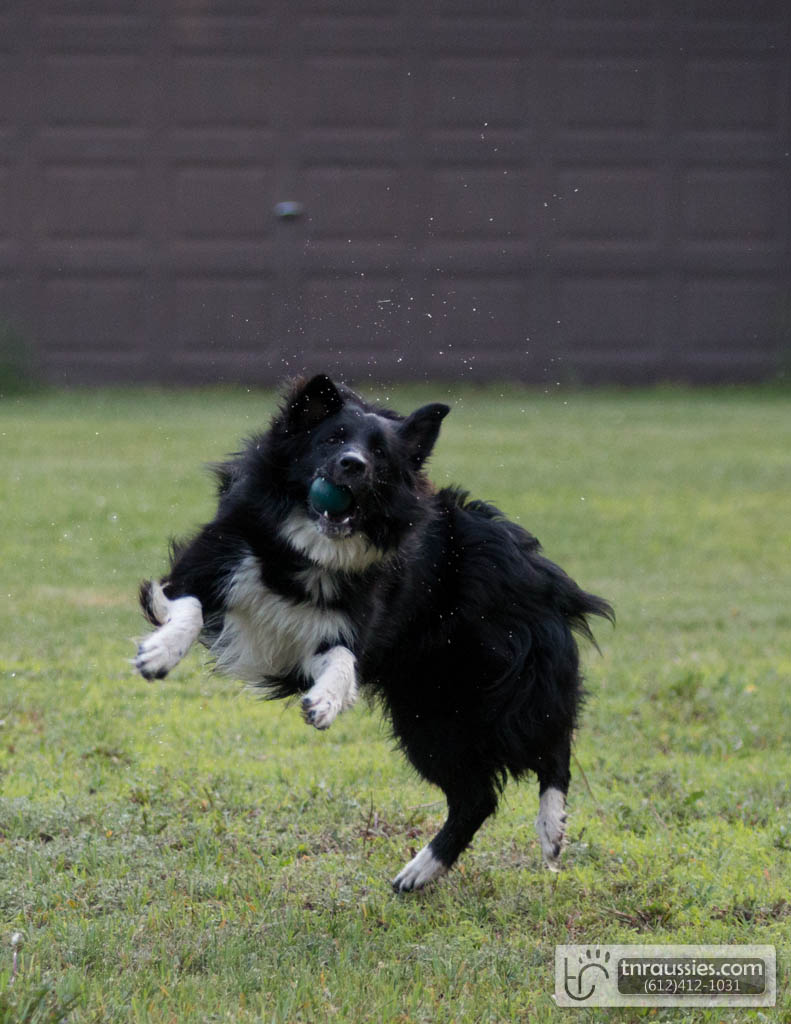 140613 TR7288 Australian Shepherd Puppies